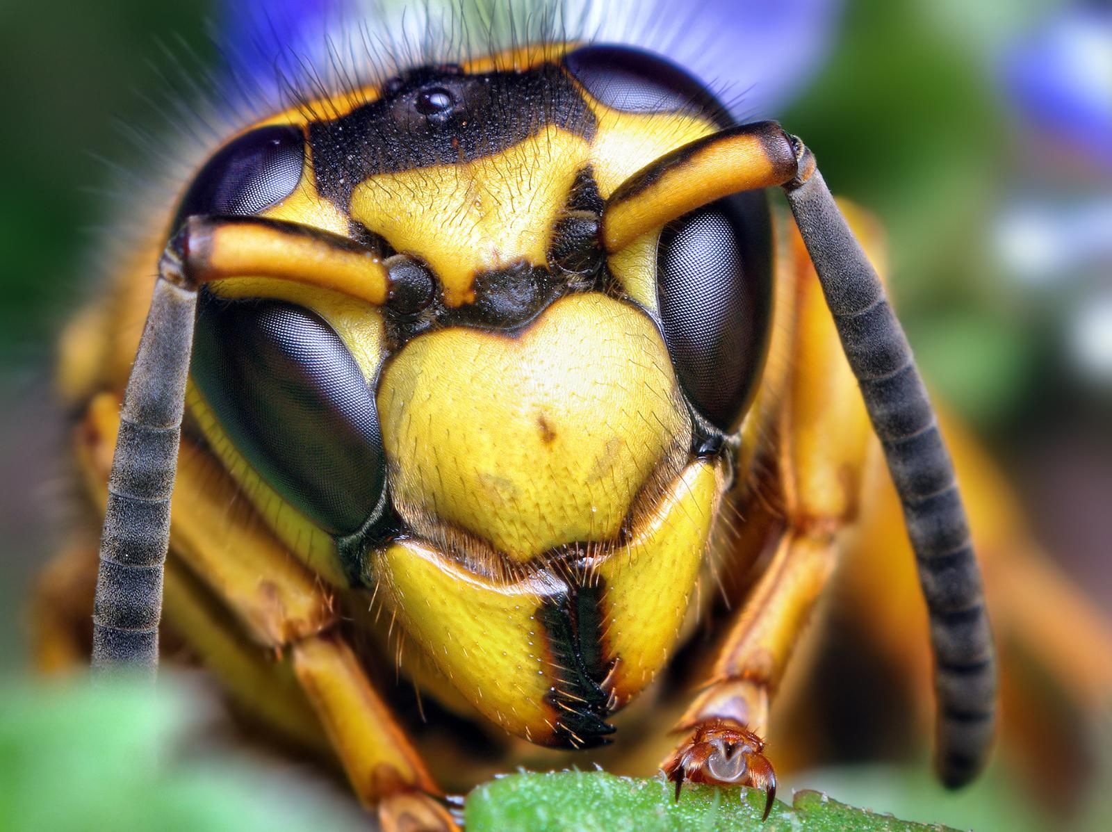 Murder hornets usa